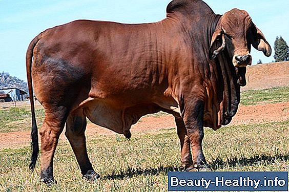 The Best Bucking Bull Breeds